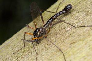 Tanyptera atrata male · ilgakojis uodas ♂ 1235