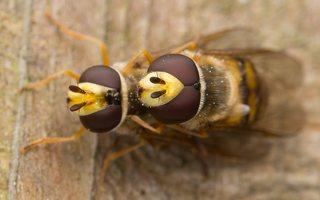 Syrphidae · žiedmusės 1239