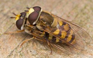Syrphidae · žiedmusės 1240