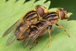 Syrphidae · žiedmusės 1255