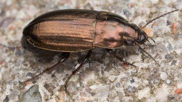 Carabidae · žygis 1277
