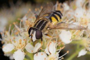 Syrphidae · žiedmusės 1290