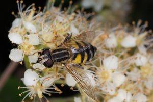 Syrphidae · žiedmusės 1291