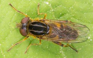 Syrphidae · žiedmusės 1292