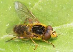 Syrphidae · žiedmusės 1293