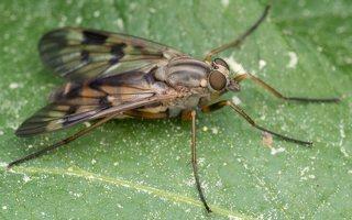 Rhagionidae · slankmusės