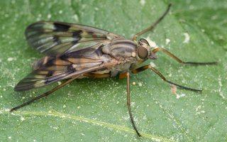 Rhagionidae · slankmusės 1305