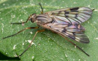 Rhagionidae · slankmusės 1306
