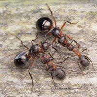 Formicidae · skruzdėlės 1307