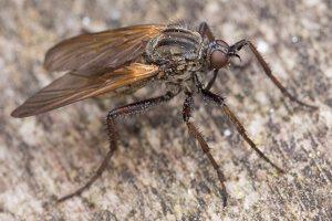 Empididae · snapmusės 1308