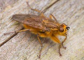 Scathophaga stercoraria · mėšlamusė 1314