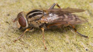 Syrphidae · žiedmusės 1326