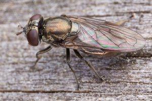 Pipizella sp. female · žiedmusė ♀ 1331
