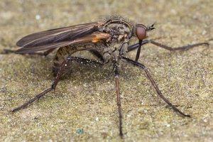Empididae · snapmusės 1335