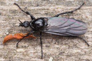 Bibionidae · storakojai uodai 1344