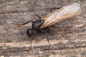 Formicidae · skruzdėlės 1346
