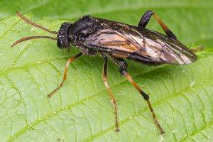 Hymenoptera · plėviasparnis 1397