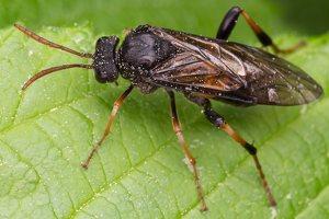 Hymenoptera · plėviasparnis 1399