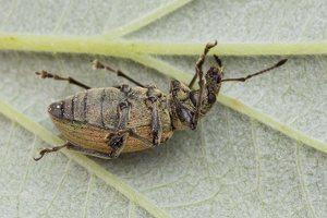 Curculionidae · straubliukas 1400