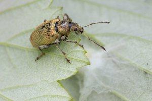 Curculionidae · straubliukas 1402