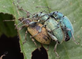 Curculionidae · straubliukas 1414