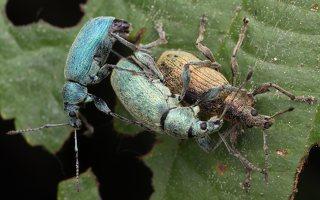 Curculionidae · straubliukas 1416