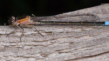 Ischnura elegans · elegantiškoji strėliukė