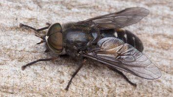 Tabanidae · sparvos 1441