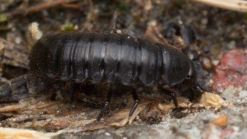Carabidae larva · žygis, lerva 1468