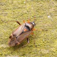 Harpocera thoracica female · žolblakė ♀ 1472