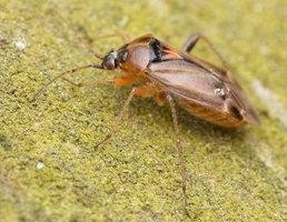 Harpocera thoracica female · žolblakė ♀ 1473