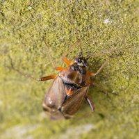 Harpocera thoracica female · žolblakė ♀ 1474
