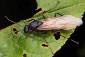 Formicidae · skruzdėlės 1486