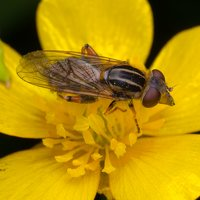 Syrphidae · žiedmusės 1489