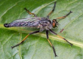 Asilidae · musė plėšrūnė 1499