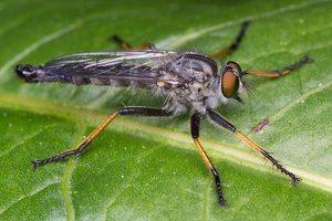 Asilidae · musė plėšrūnė 1500