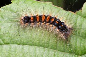 Lymantria dispar caterpillar · neporinis verpikas, vikšras 1504