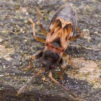 Scolopostethus affinis · dėmėtoji dirvablakė 1506