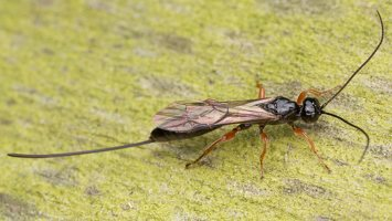 Hymenoptera · plėviasparnis 1544