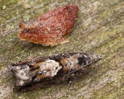 Tortricidae · lapsukys 1556