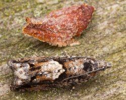 Tortricidae · lapsukys 1557