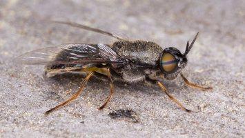 Stratiomyidae · plokščiamusė 1562