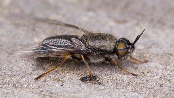 Stratiomyidae · plokščiamusė 1563