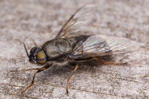 Stratiomyidae · plokščiamusė 1564