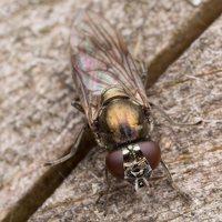 Pipizella sp. female · žiedmusė ♀ 1566