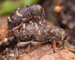 Hylobius abietis mating · didysis pušinis straubliukas poruojasi 1570