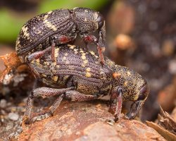 Hylobius abietis mating · didysis pušinis straubliukas poruojasi 1571