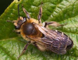 Hymenoptera · plėviasparnis 1604