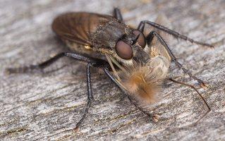 Asilidae · musė plėšrūnė 1611