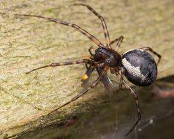 Neriene montana female · kalninis lygumvoris ♀ 1614